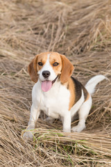 Beagle sitting in yellow grass