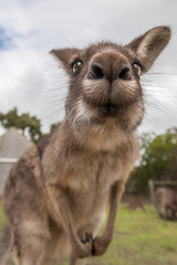 Kangaroo making duck face into the camera