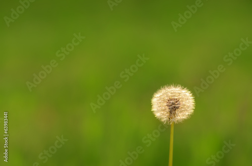 Dandelion seeds on the field
