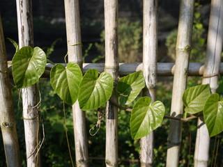 Coral vine or Antigonon leptopus on fence