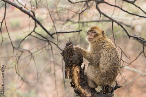Monkey in tree on Morocco