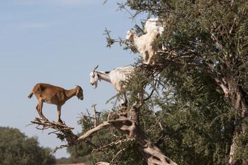 Goats feeding in argan tree. Marocco
