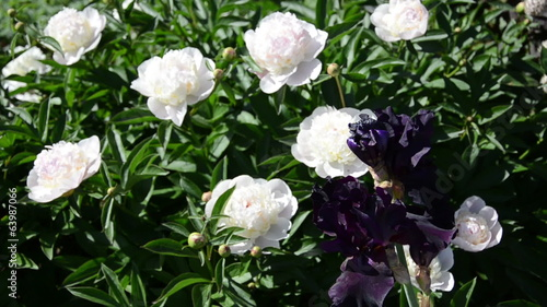 blue iris and white peony flowers in summer garden