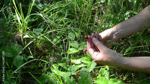 Hand put swing ripe wild strawberry on bent grass in summer