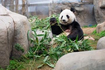 Cute Giant Panda eating bamboo