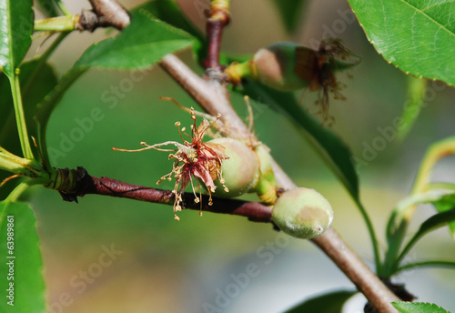 Young Almond Drupes