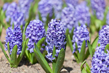 Field full with blue Hyacinths in Holland