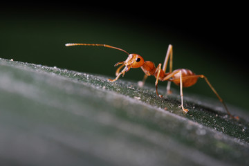 Ant walking on the green leaf