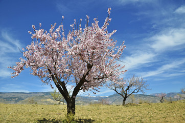 Field of almond blossoms