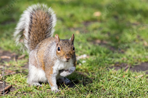 canvas print picture portrait of squirrel