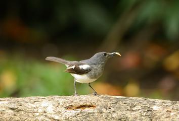female oriental magpie-robin