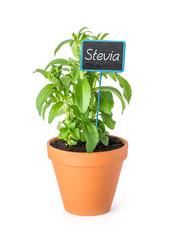 Stevia im Tontopf mit Pflanzenstecker