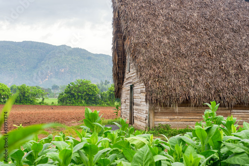 Tobacco plantation and tobacco curing barn in Cuba