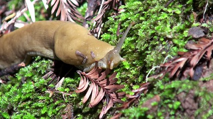 Banana slug (Ariolimax californicus).