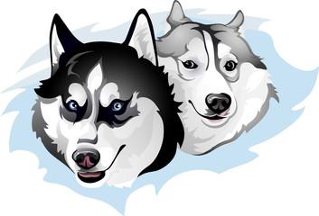 two snide Huskies