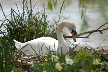 Swan sitting on eggs, hidden amongst reeds and flowers