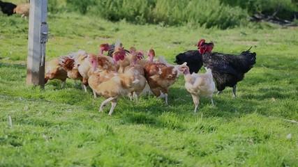 poules picorant