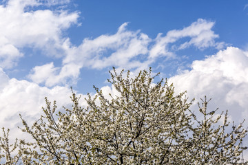 cherry tree against sky