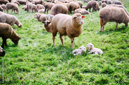 Sheep herd at green field