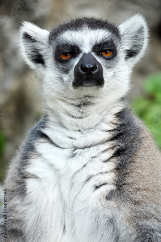 Foto op Canvas Aap Ring-tailed lemur