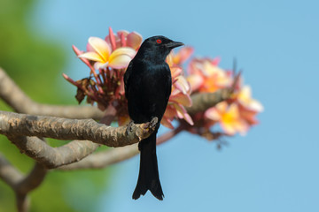 Fork-tailed Drongo looking up while perched on a flowering frang