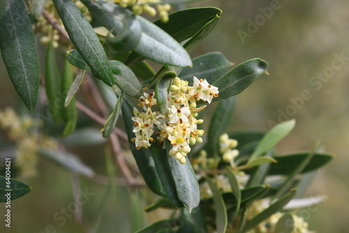 Blossoming olive tree in early summer