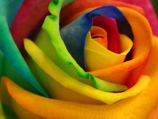 Rose gefärbt