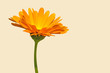 canvas print picture - Ringelblume, Calendula officinalis