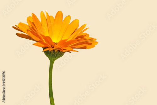 canvas print picture Ringelblume, Calendula officinalis