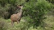 A female kudu antelope feeding on a bush