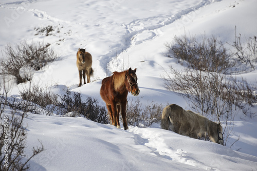 Horses in the snow hill
