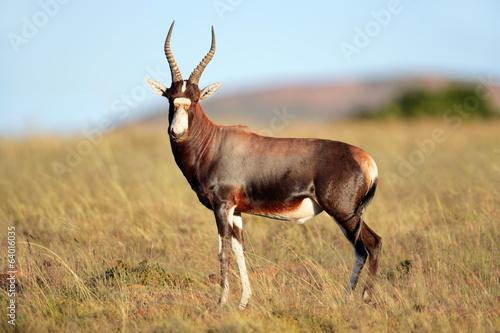 Plexiglas Antilope Blesbok antelope