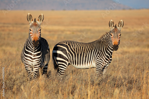 Cape Mountain Zebras, Mountain Zebra National Park