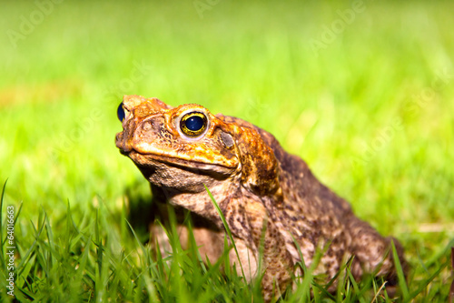 Common Toad sits on green grass