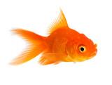 Goldfish - 64016822