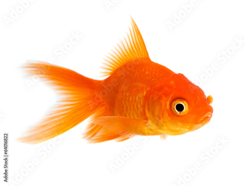 Leinwandbild Motiv Goldfish