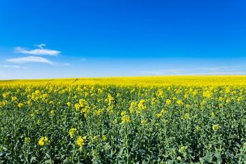 champs de colza en fleurs