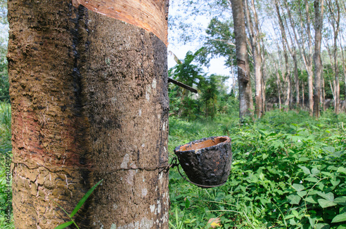 Milky latex extracted from rubber tree flows into a wooden bowl