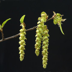 Hainbuche; Carpinus; betulus;