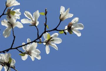 Kobushi-Magnolie, Magnolie,