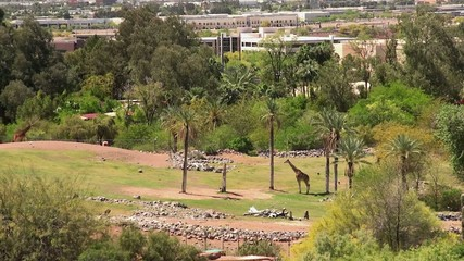 Masai Giraffes at Phoenix Zoo. Arizona, USA.