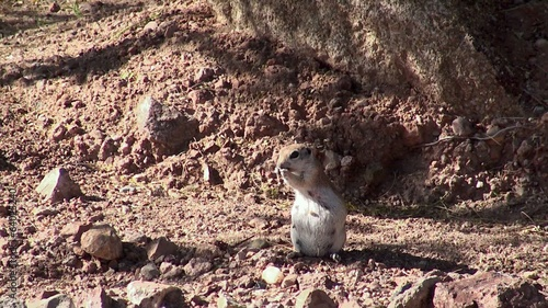 Round-tailed ground squirrel (Xerospermophilus tereticaudus).