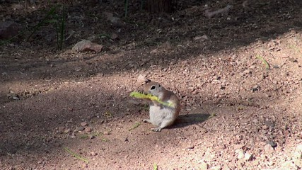 Round-tailed ground squirrel munches a velvet mesquite catkins.