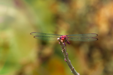 Resting dragonfly close up