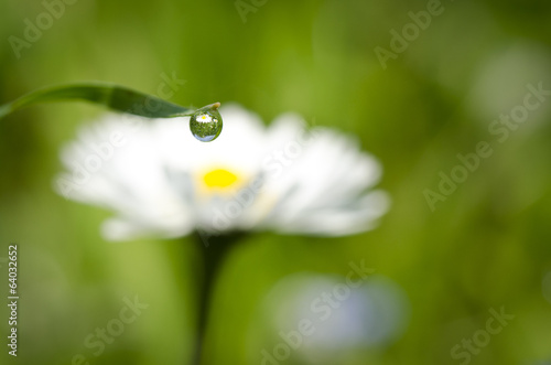 Macro of daisy in a drop