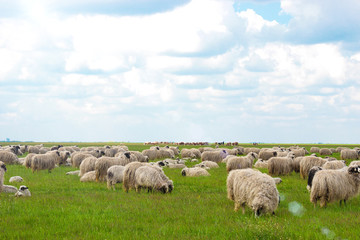 Grassland and sheeps
