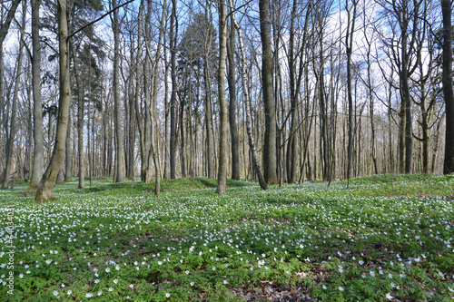 Anemonies dubravny in the spring wood grew
