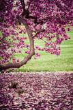 Magnolia tree in bloom. Many tender flowers.