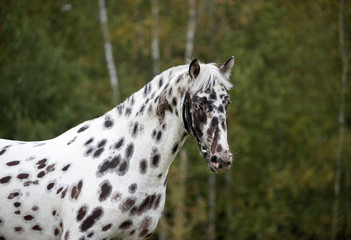Appaloosa horse portrait with autumn background