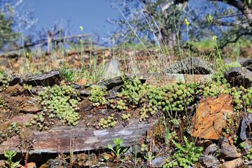 Hierbas en pared, Sauceda, Hurdes, España